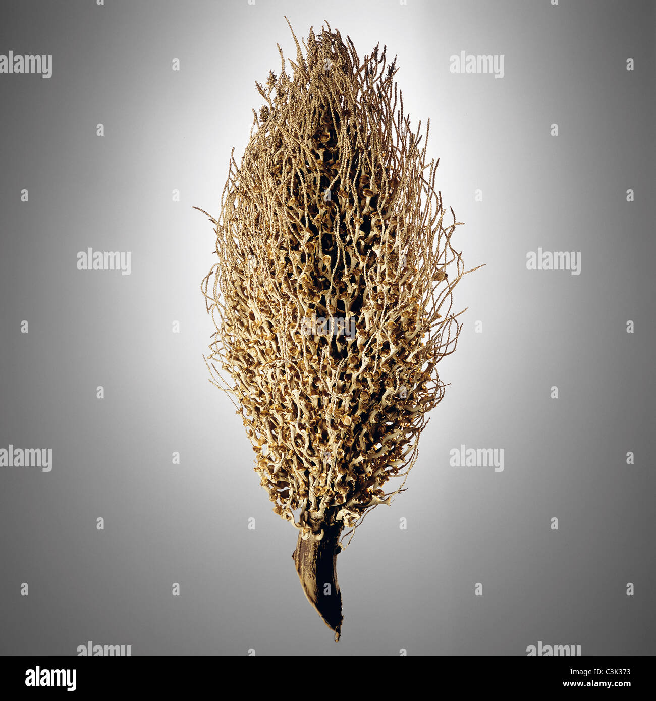 Dried plant, close up - Stock Image