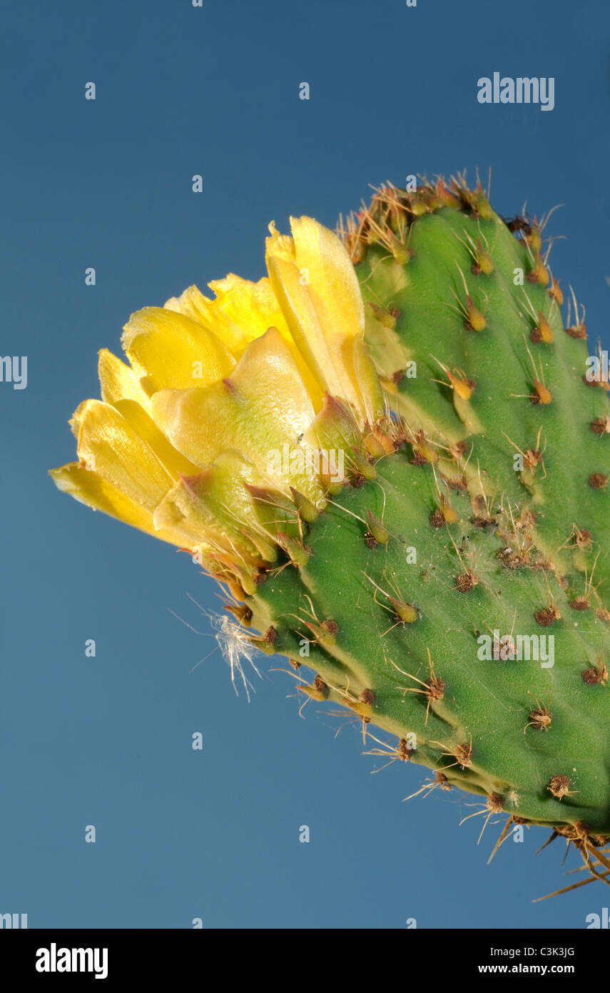 Blossoming cactus the Prickly pear - Stock Image