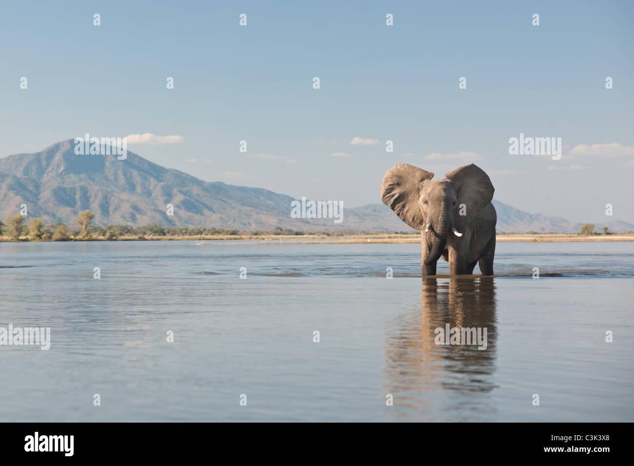 A bull elephant walks through the Zambezi river in Mana Pools National Park - Stock Image