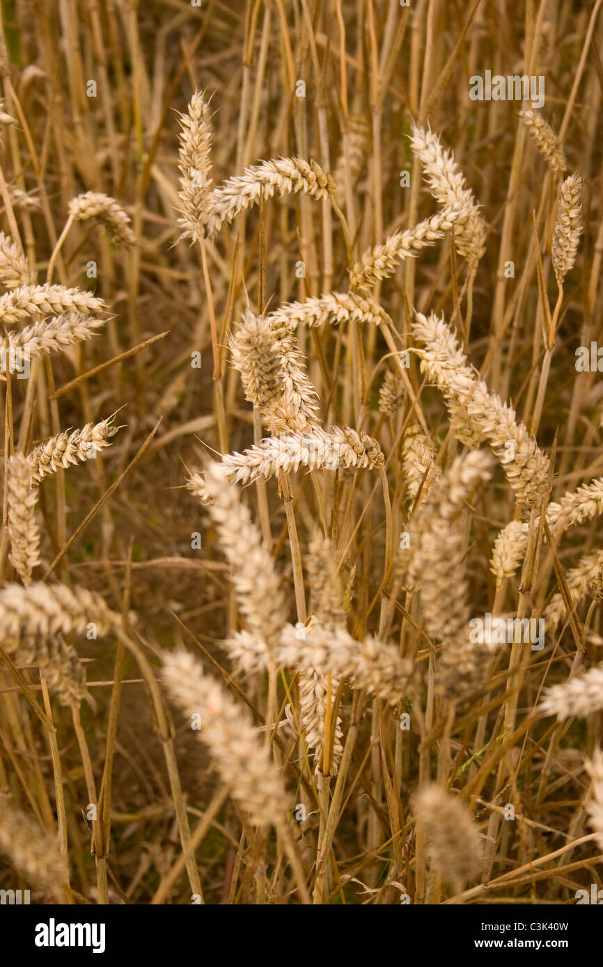Wheat ears crop grain stems straw food grow ripe harvest field earth golden colour Autumn fall season close up late - Stock Image