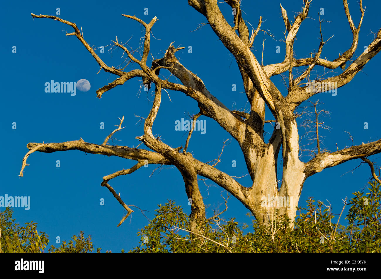 Moon and barren dead tree trunk and  branches, Ventana Wilderness, Los Padres National Forest, Big Sur coast, California - Stock Image