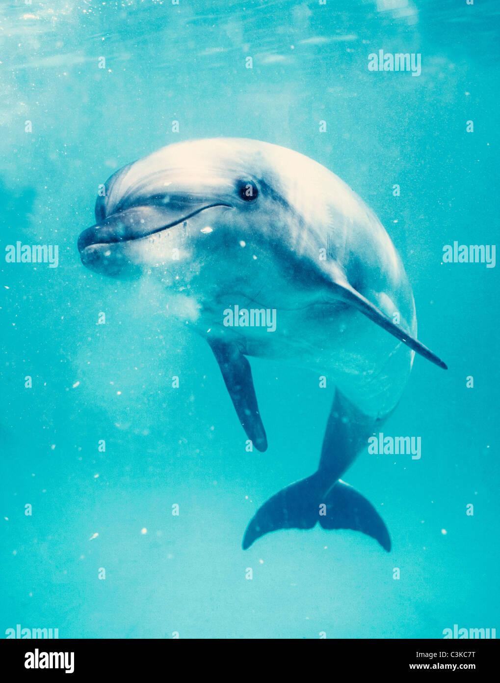 Bottlenosed dolphin underwater - Stock Image