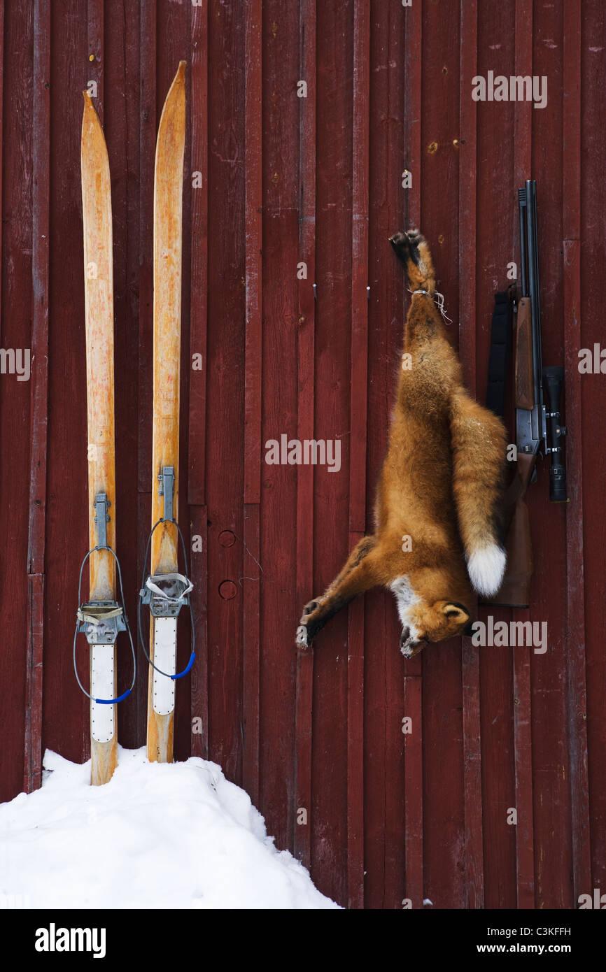 A fox and a gun, Norrland, Sweden. Stock Photo