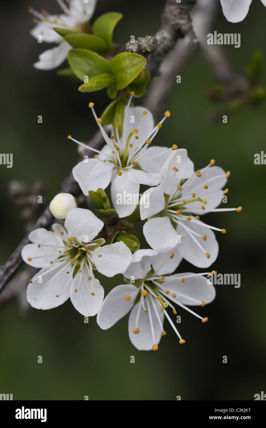 Hawthorn tree in flower at springtime - Stock Image