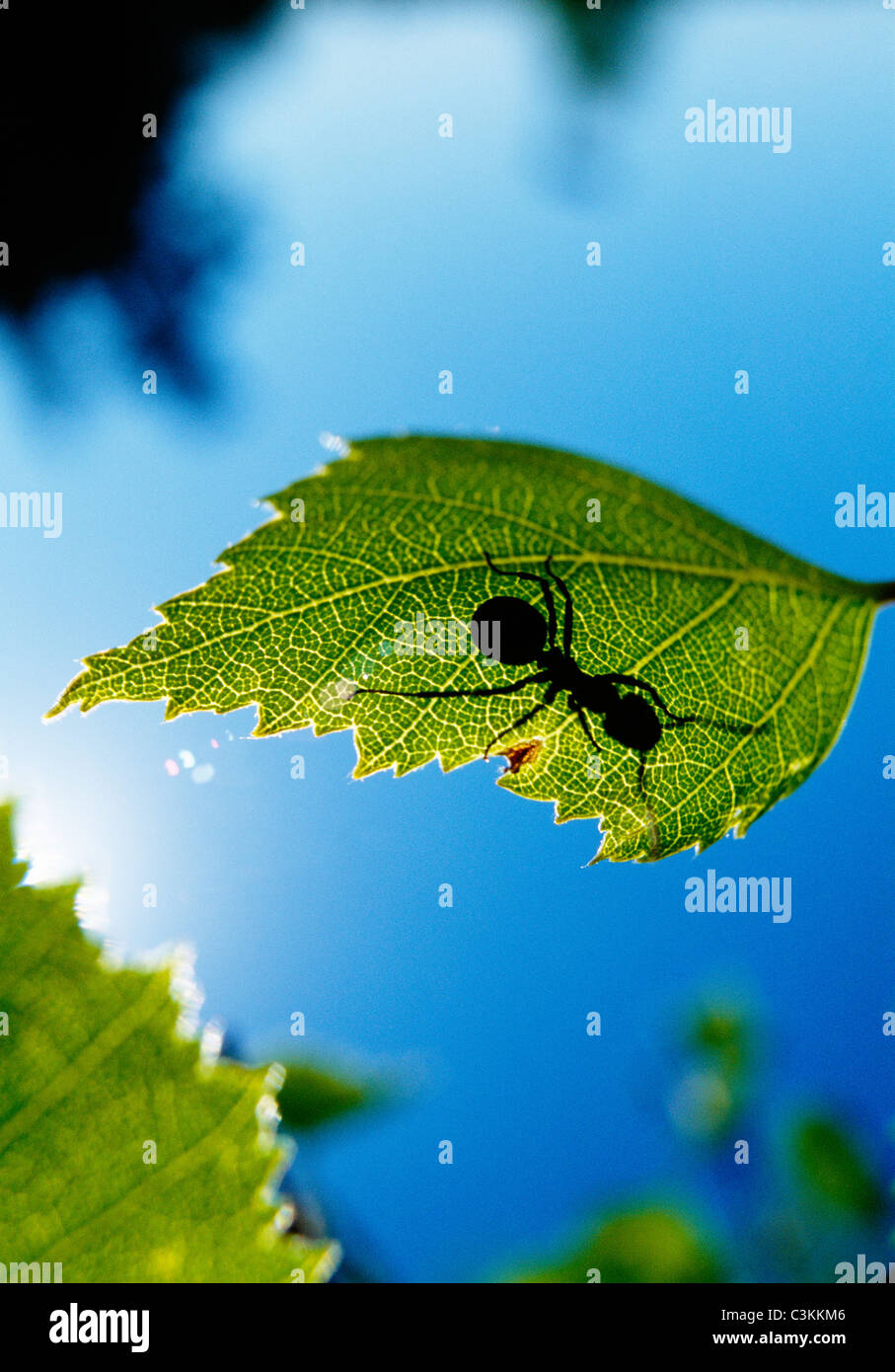 Wood ant on leaf with sunlight falling on it - Stock Image