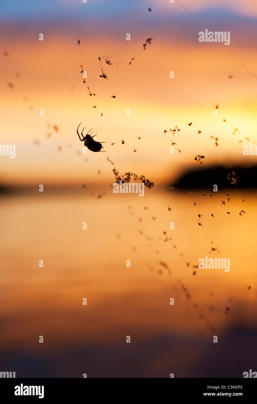 Silhouette of spider on web against sunset - Stock Image