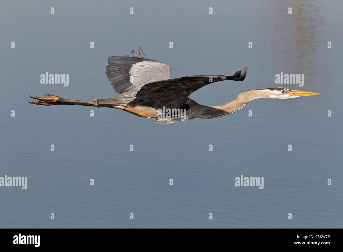 An adult Great Blue Heron flying low across a lake - Stock Image