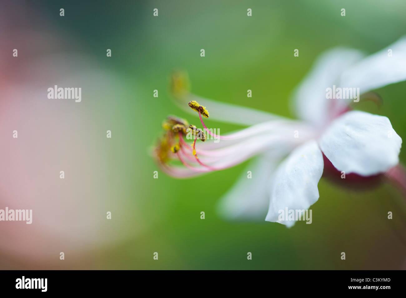Geranium macrorrhizum 'Album' flower. Rock cranesbill. Close up on anthers and pollen - Stock Image