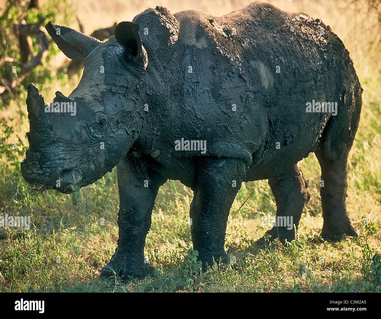 White rhino Ceratotherium simum covered in mud Kruger South Africa - Stock Image