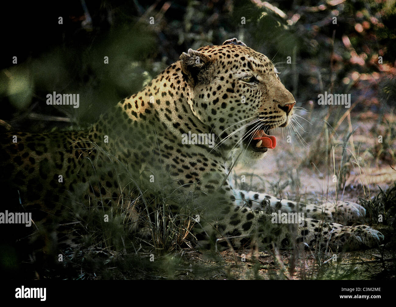 Leopard Panthera pardus Mala Mala Kruger South Africa - Stock Image