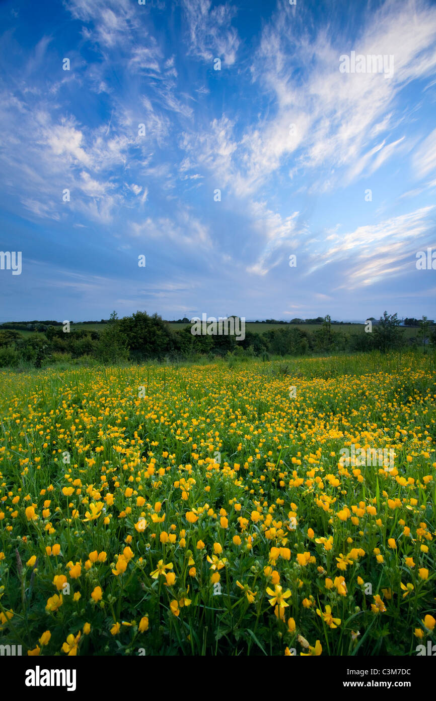Field of meadow buttercups (ranunculus acris), County Sligo, Ireland. - Stock Image