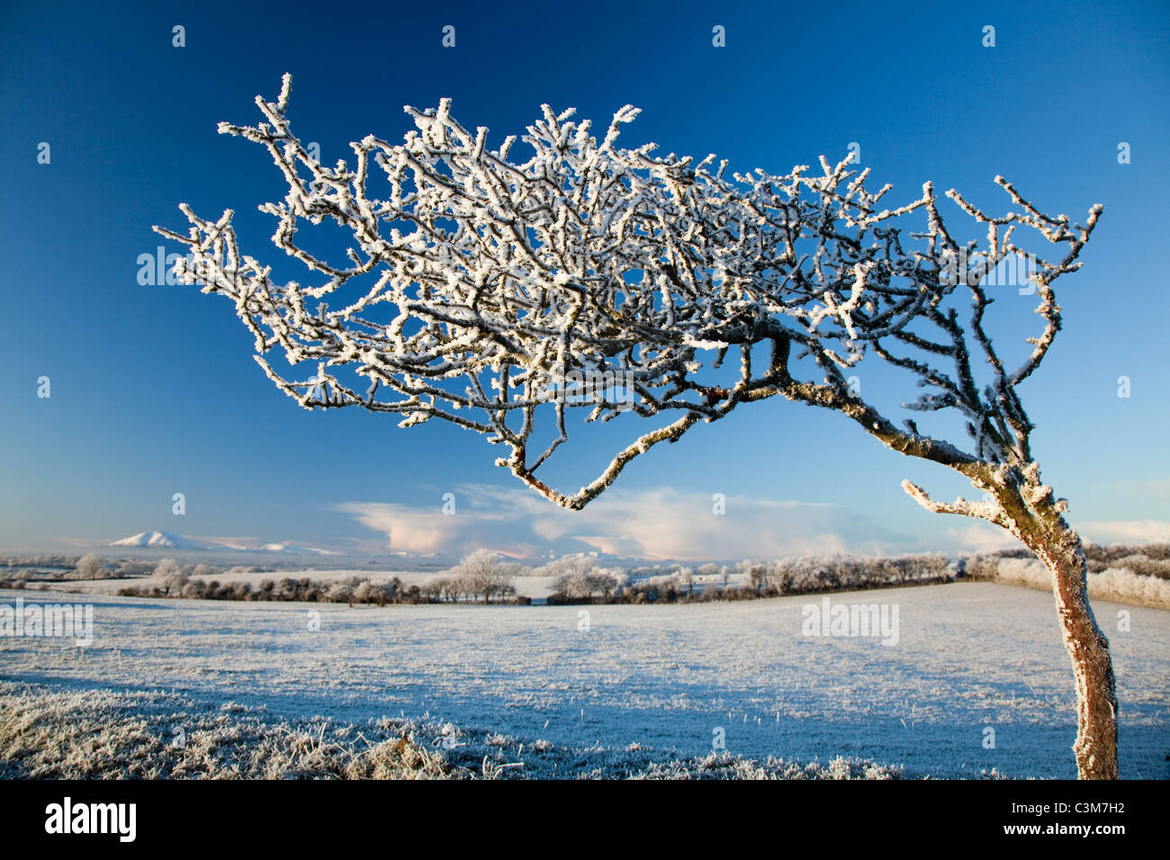 Wind-bent hawthorn tree covered by winter hoar frost, County Sligo, Ireland. - Stock Image