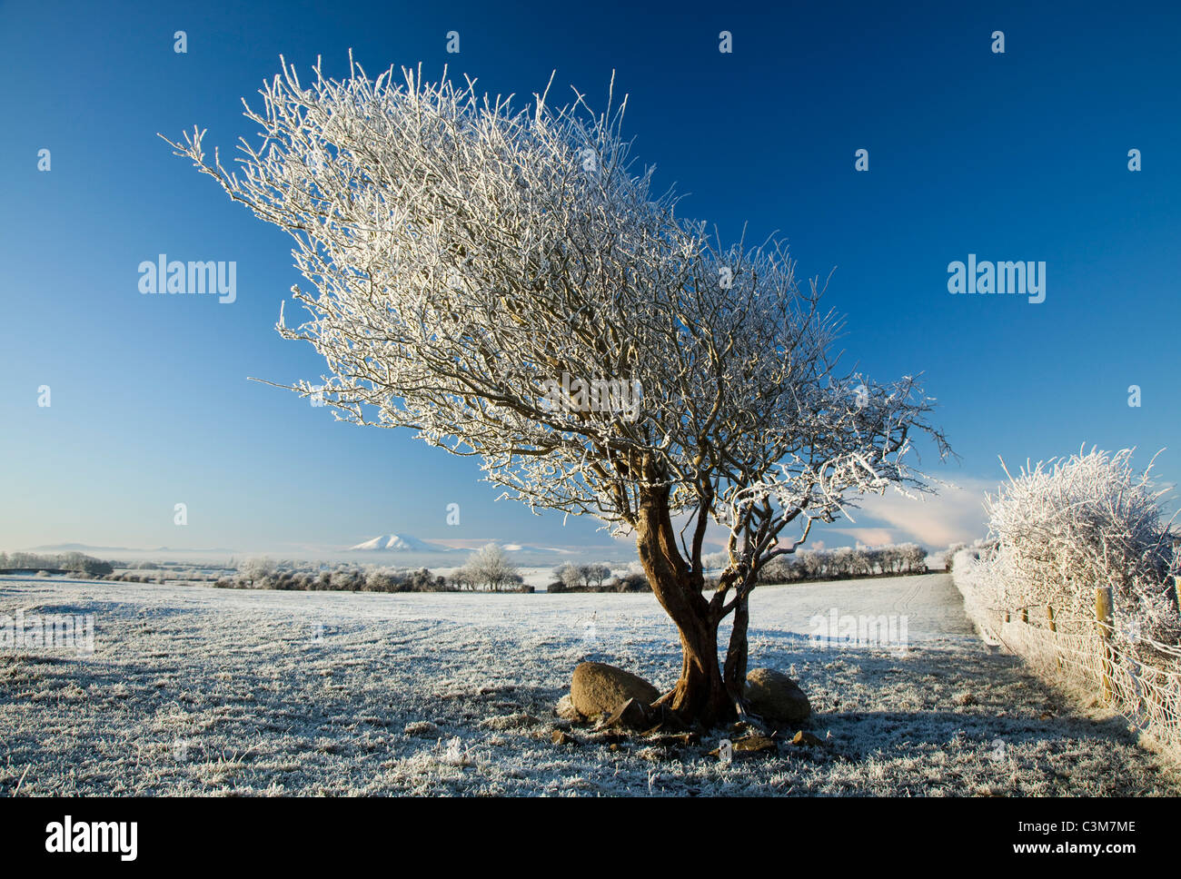 Hawthorn tree covered by winter hoar frost, County Sligo, Ireland. - Stock Image