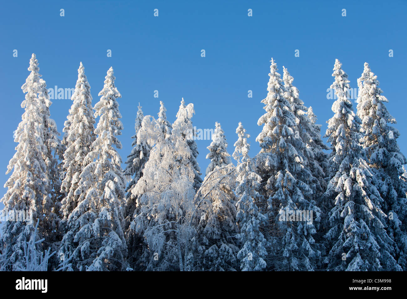 View of snow covered spruce ( Picea Abies ) trees , Finland - Stock Image
