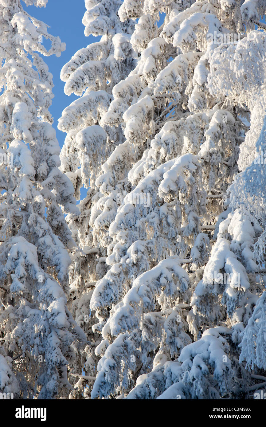 View of snow covered spruce ( Picea Abies ) tree branches , Finland - Stock Image