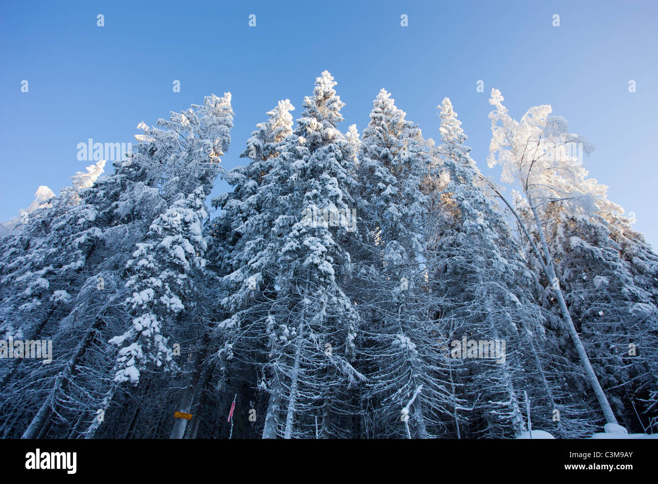 View of snowy spruce ( Picea Abies ) forest , Finland - Stock Image