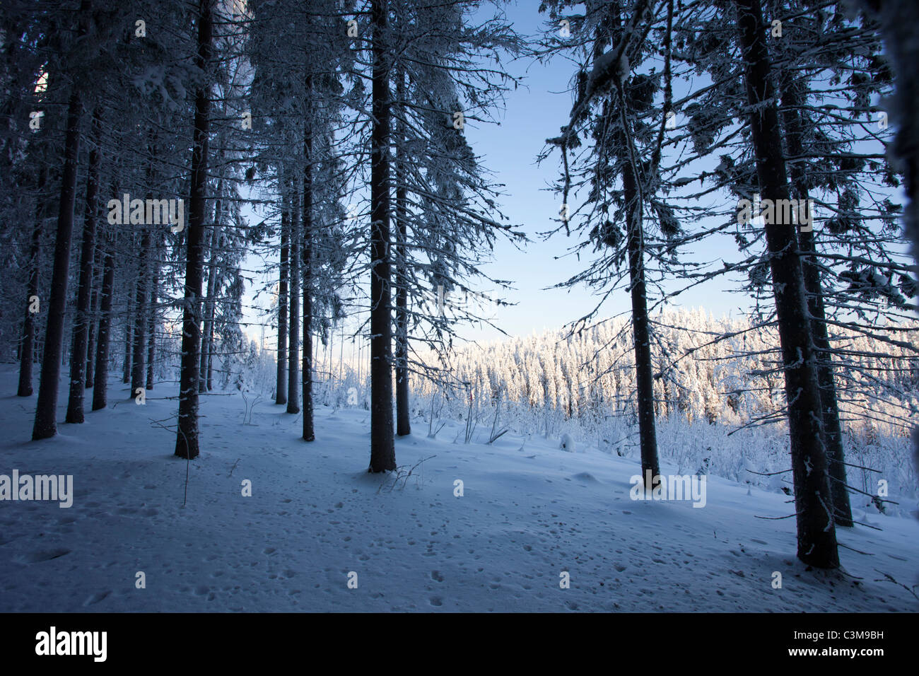 View of snow covered spruce  forest  at Winter ( Picea Abies ) , Finland - Stock Image