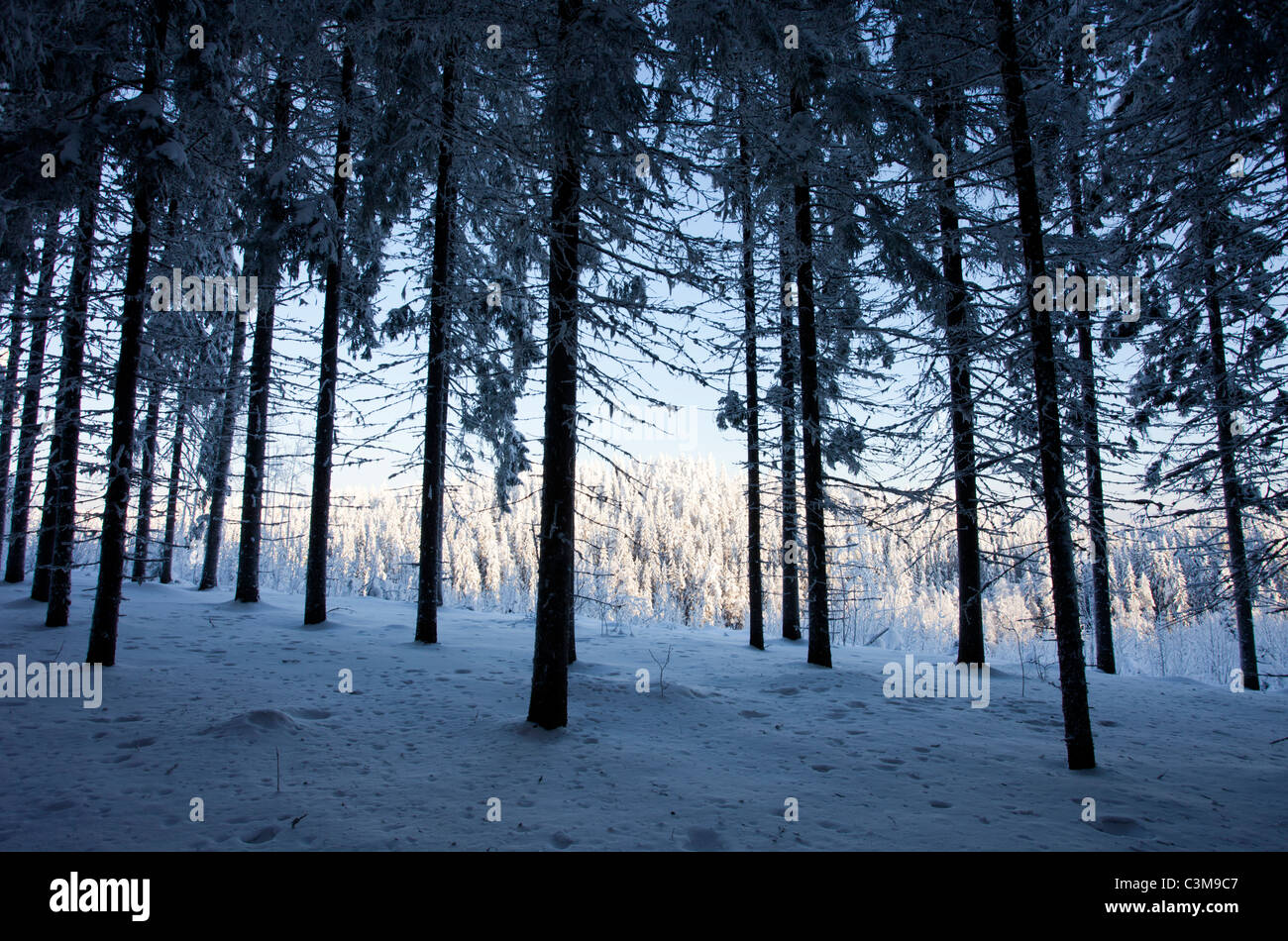 View from snow covered spruce ( Picea Abies ) forest , Finland - Stock Image