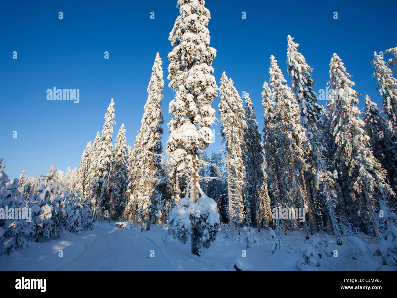 Snow covered spruce ( picea abies ) trees in the forest , Finland Stock Photo