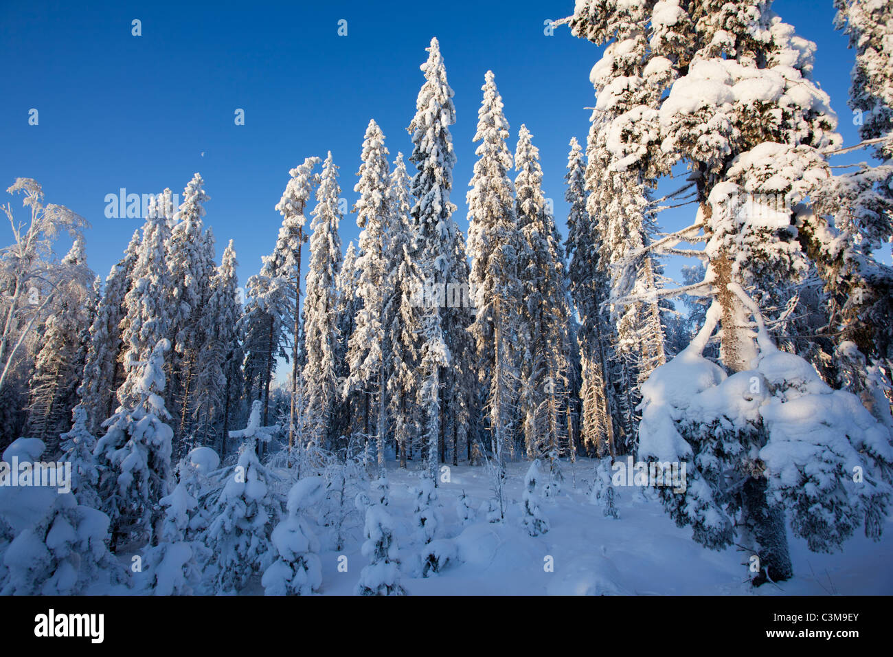 Snow covered spruce ( picea abies ) trees in the forest , Finland - Stock Image