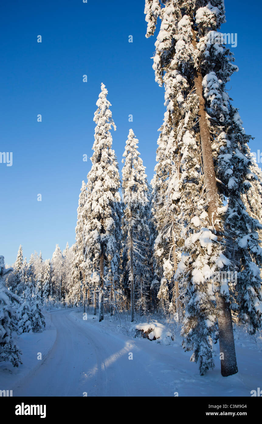 Forest road and snow covered spruce ( picea abies ) trees , Finland - Stock Image