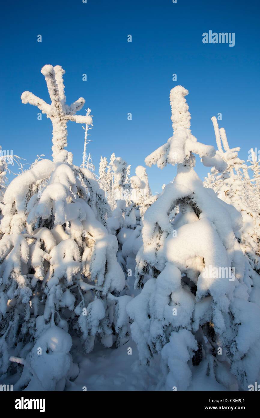 Snow covered pine ( pinus sylvestris ) saplings - Stock Image