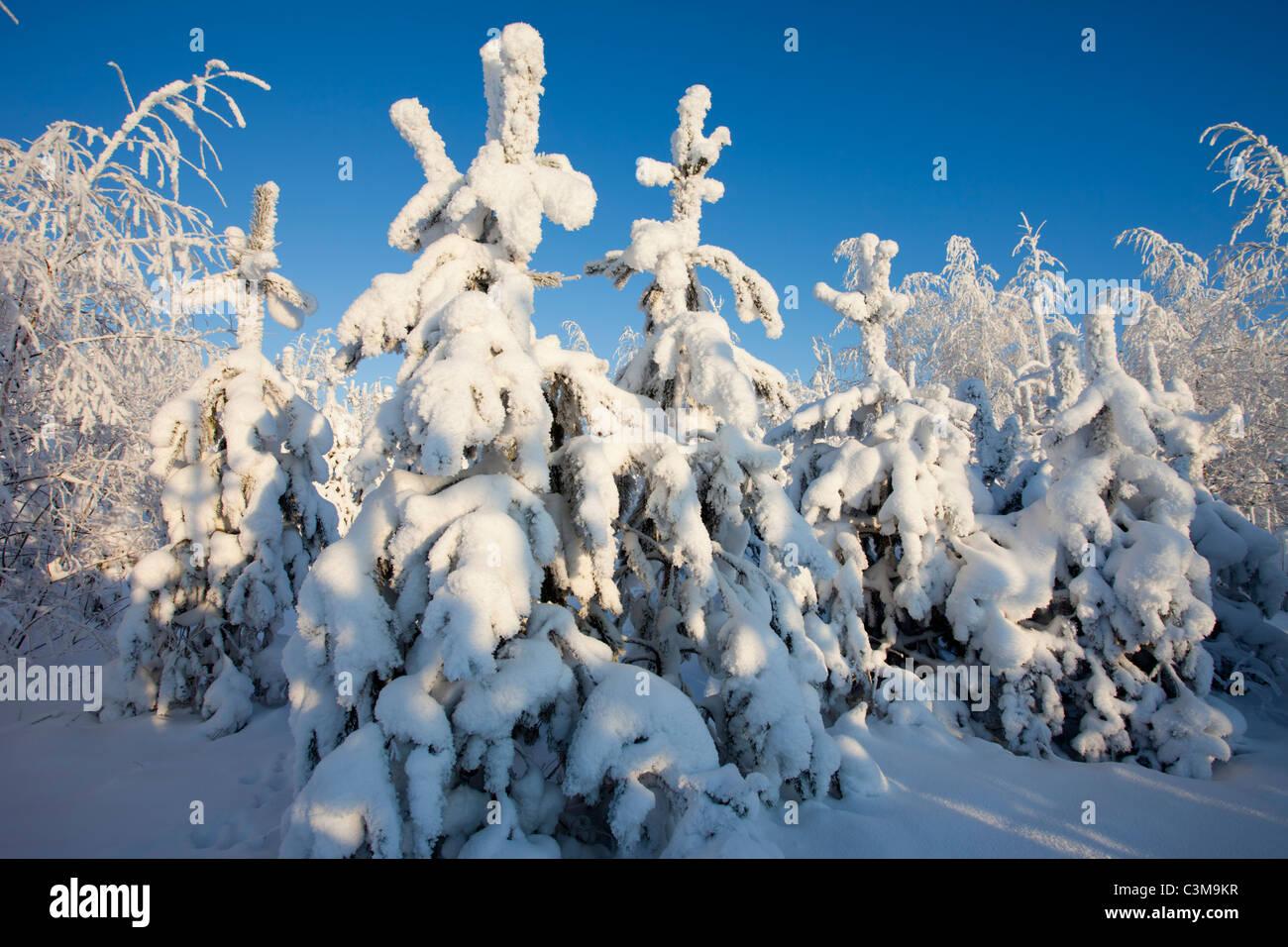 Snow covered pine ( pinus sylvestris ) saplings , Finland - Stock Image