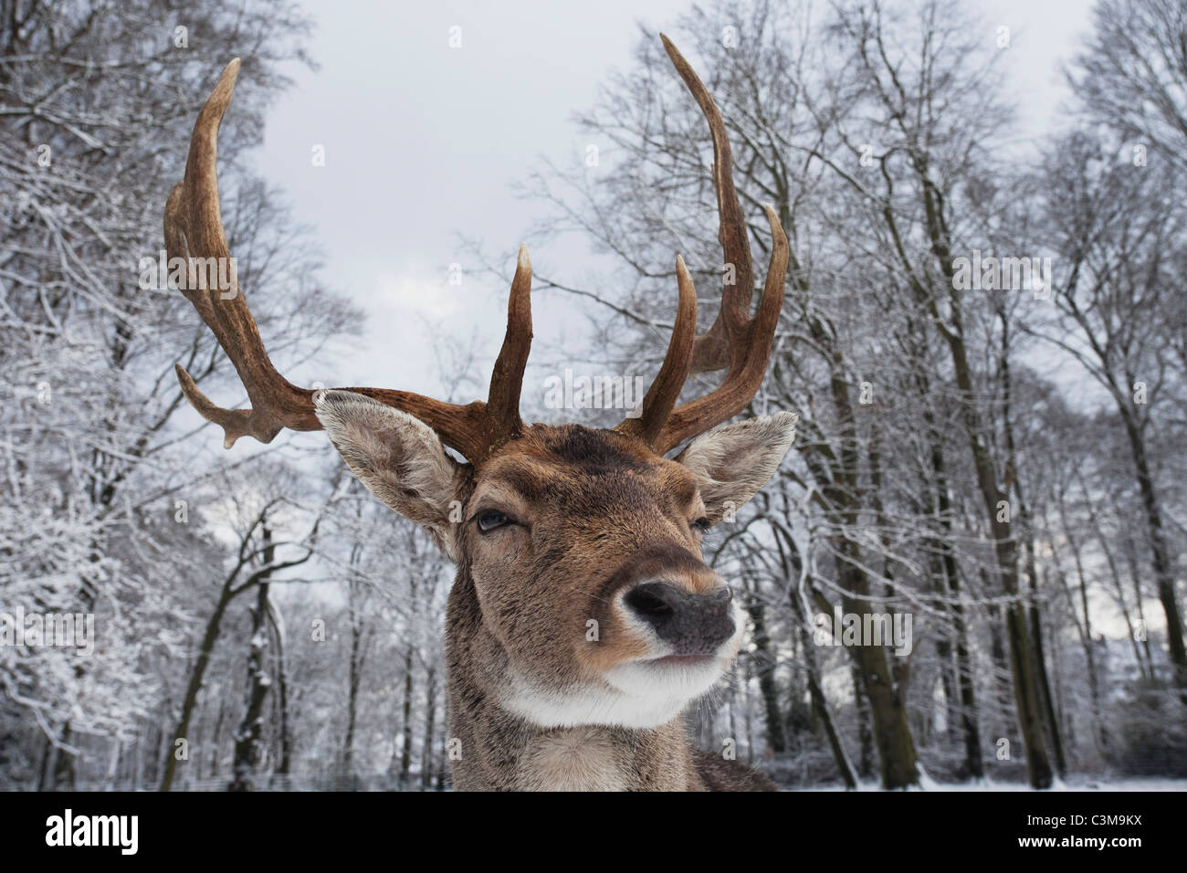 Germany, Cologne, Animal Reserve, Male fallow deer at lindenthaler tierpark - Stock Image