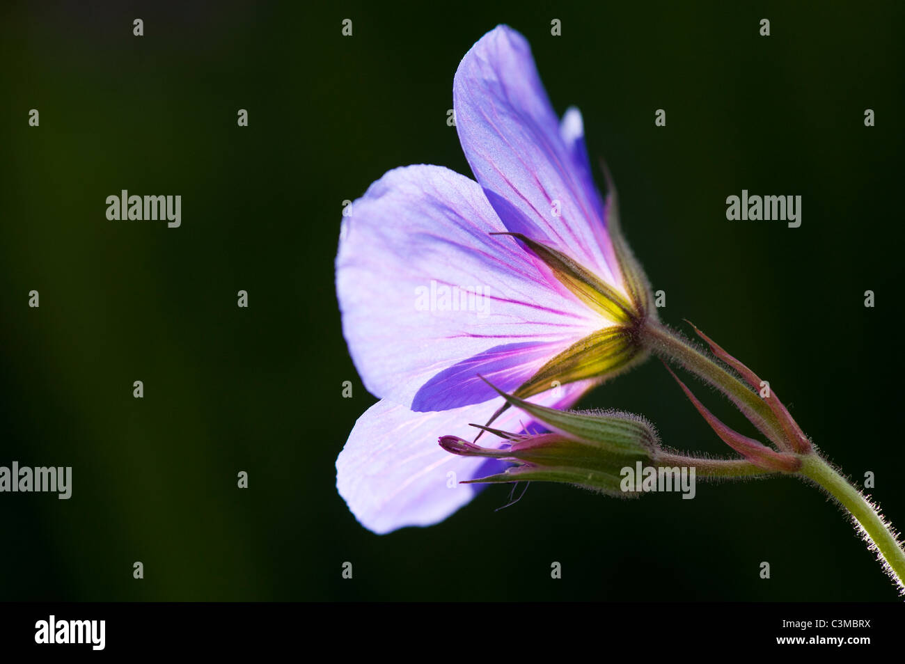 Geranium Orion. Cranesbill flower and bud. Spot metered and lit up by sunlight - Stock Image