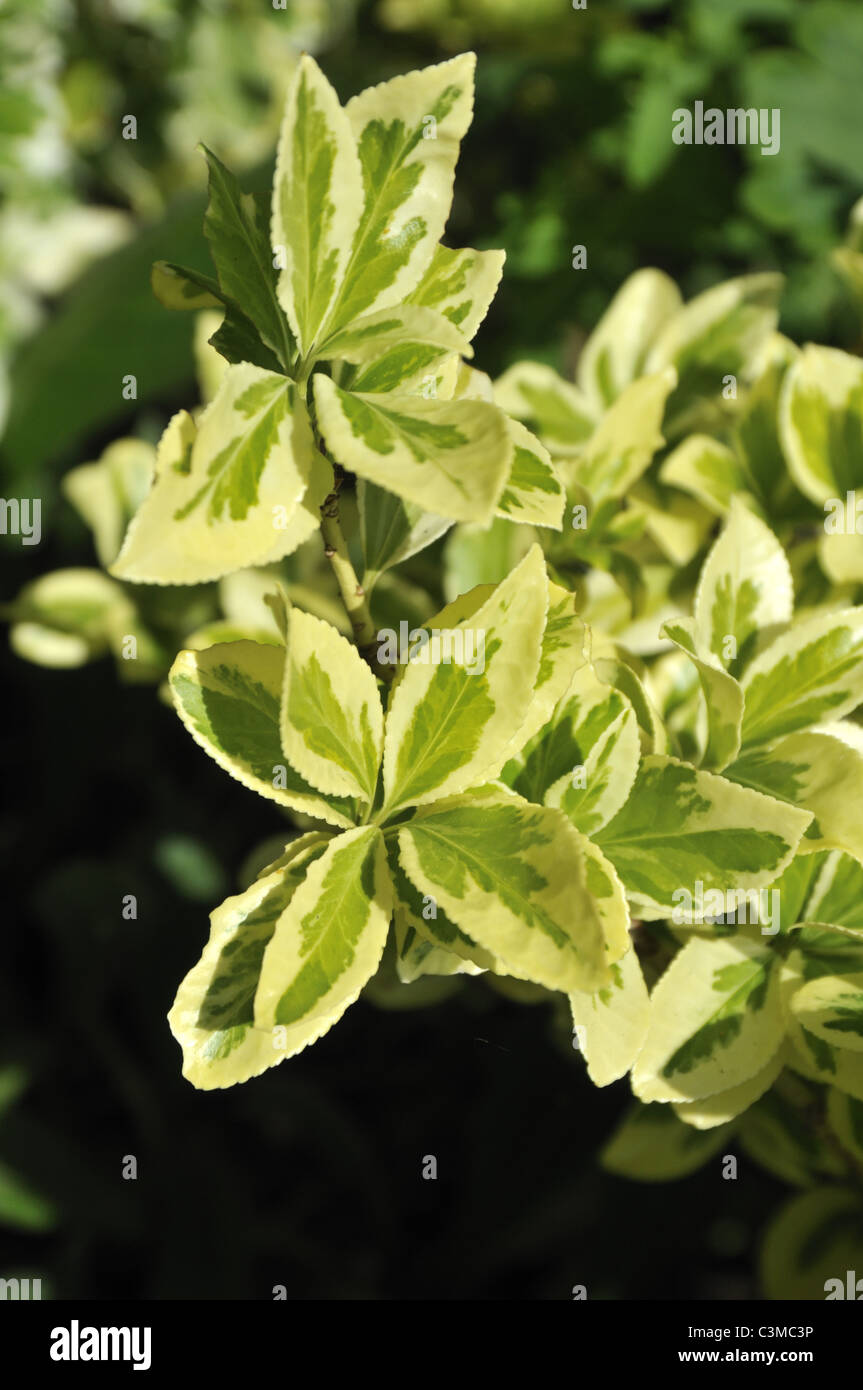 Euonymus fortunei 'Emerald 'n' Gold' (Spindle tree) - Stock Image