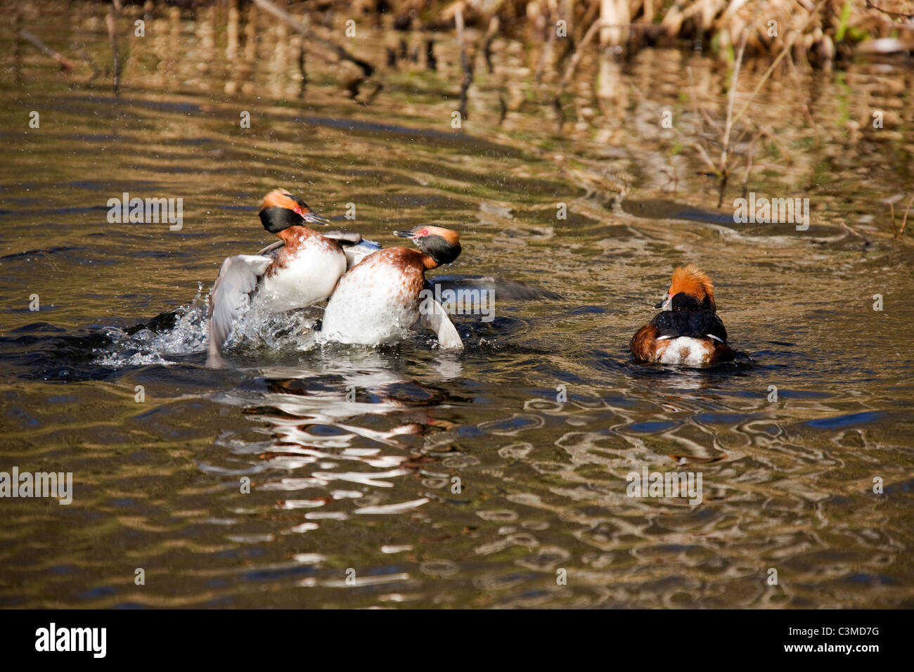 Two Slavonian Grebes (Podiceps auritus) fighting. - Stock Image