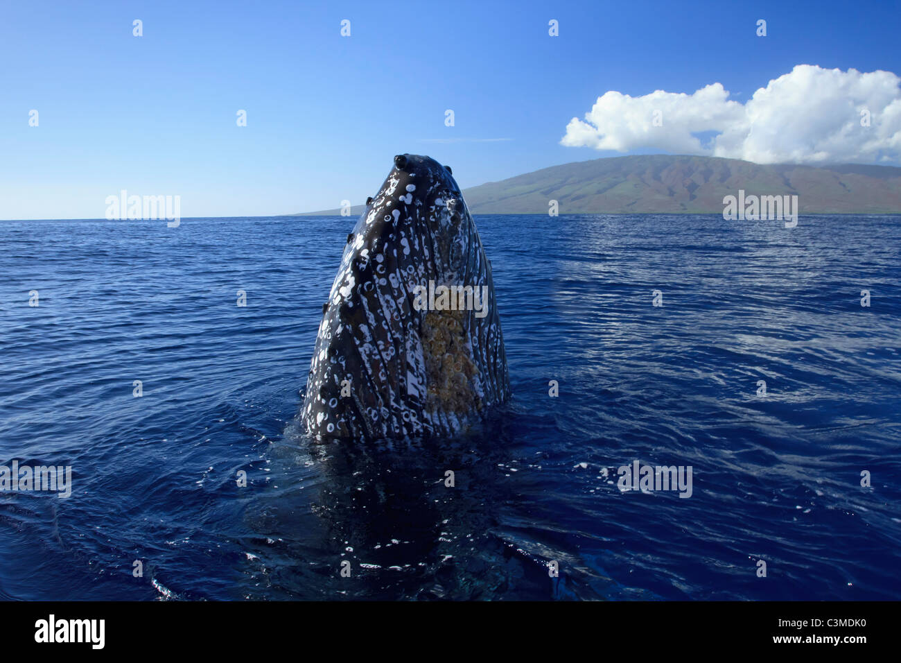 Humpback whale with barnacles surfaces with the island of Lanai; Hawaii in background. Stock Photo