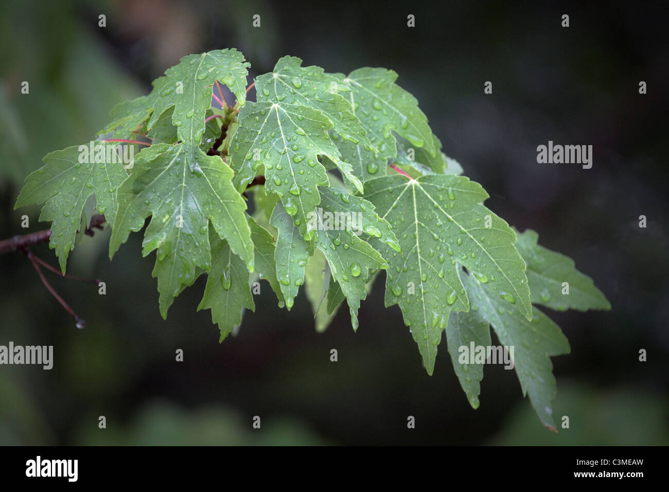 Red maple leaves with rain drops Stock Photo