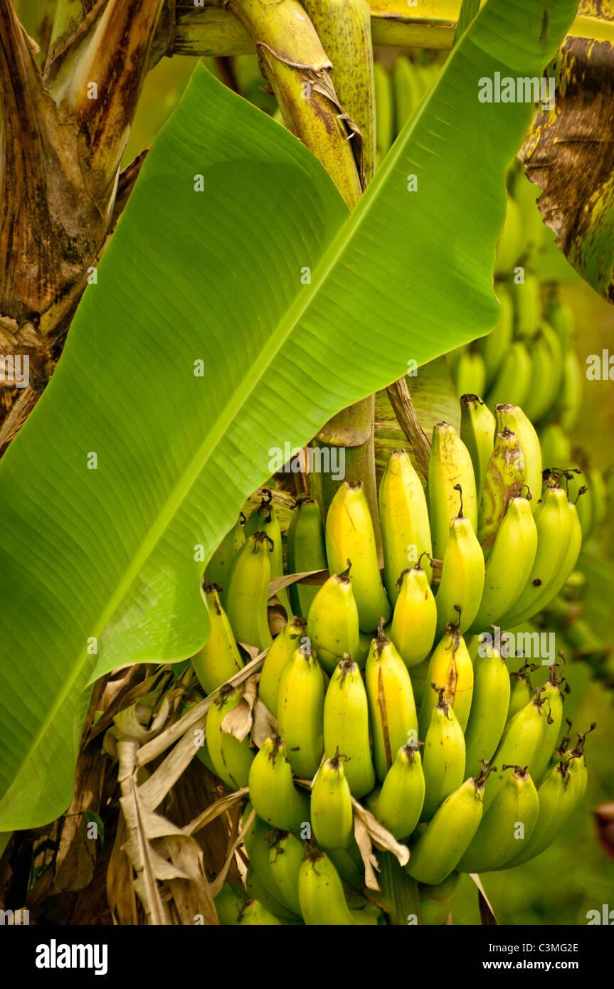 Tropical Banana tree ripe for harvesting, Fiji - Stock Image