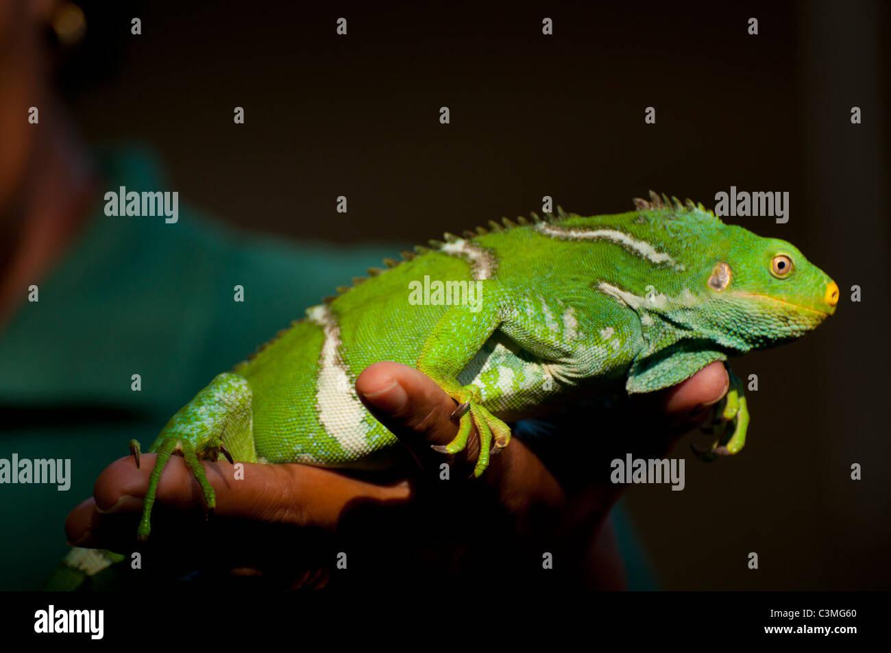 Crested Iguana, Kula Eco Park, Sigatoka, Coral Coast Viti Levu Island, Fiji - Stock Image