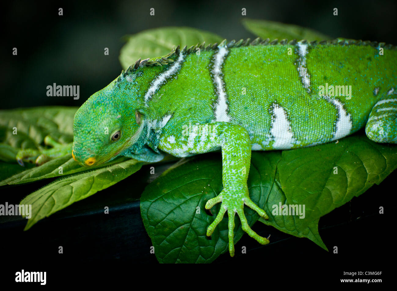 Crested Iguana, Kula Eco Park, Sigatoka ,Coral Coast, Viti Levu Island, Fiji - Stock Image