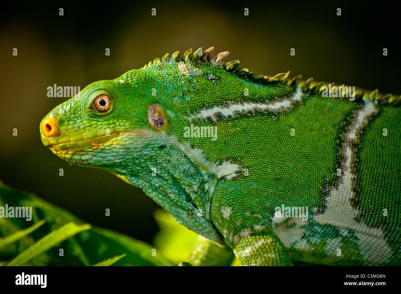 Crested Iguana, Kula Eco Park, Sigatoka Coral Coast,, Viti Levu, Fiji - Stock Image