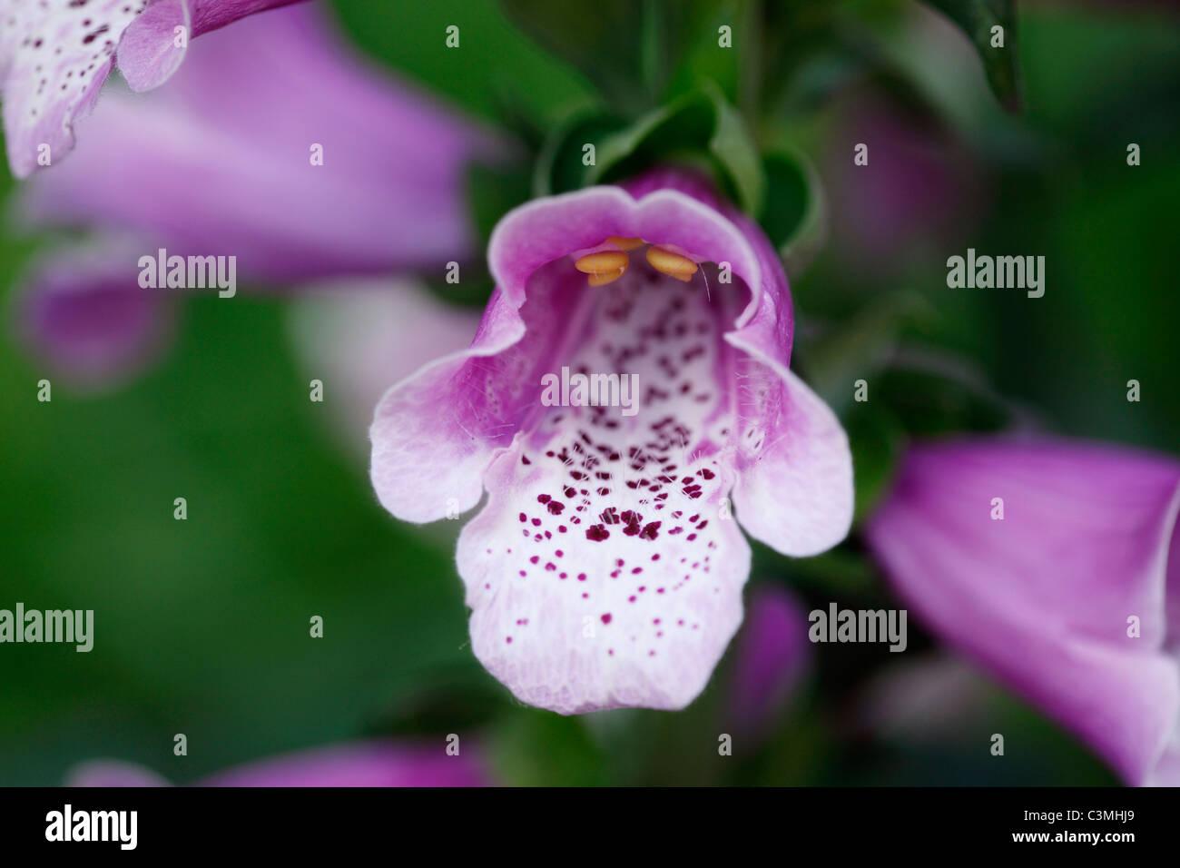 Germany, Bavaria, Purple foxglove, close up - Stock Image
