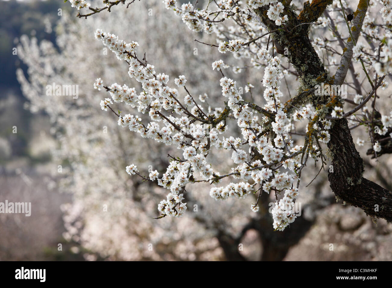Spain, Balearic Islands, Majorca, View of blooming almond trees - Stock Image