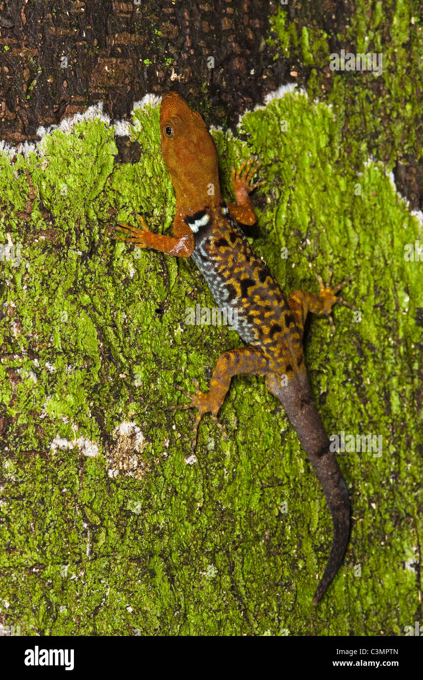 O'Shaughnessy's Gecko (Gonatodes concinnatus) on bark Stock Photo
