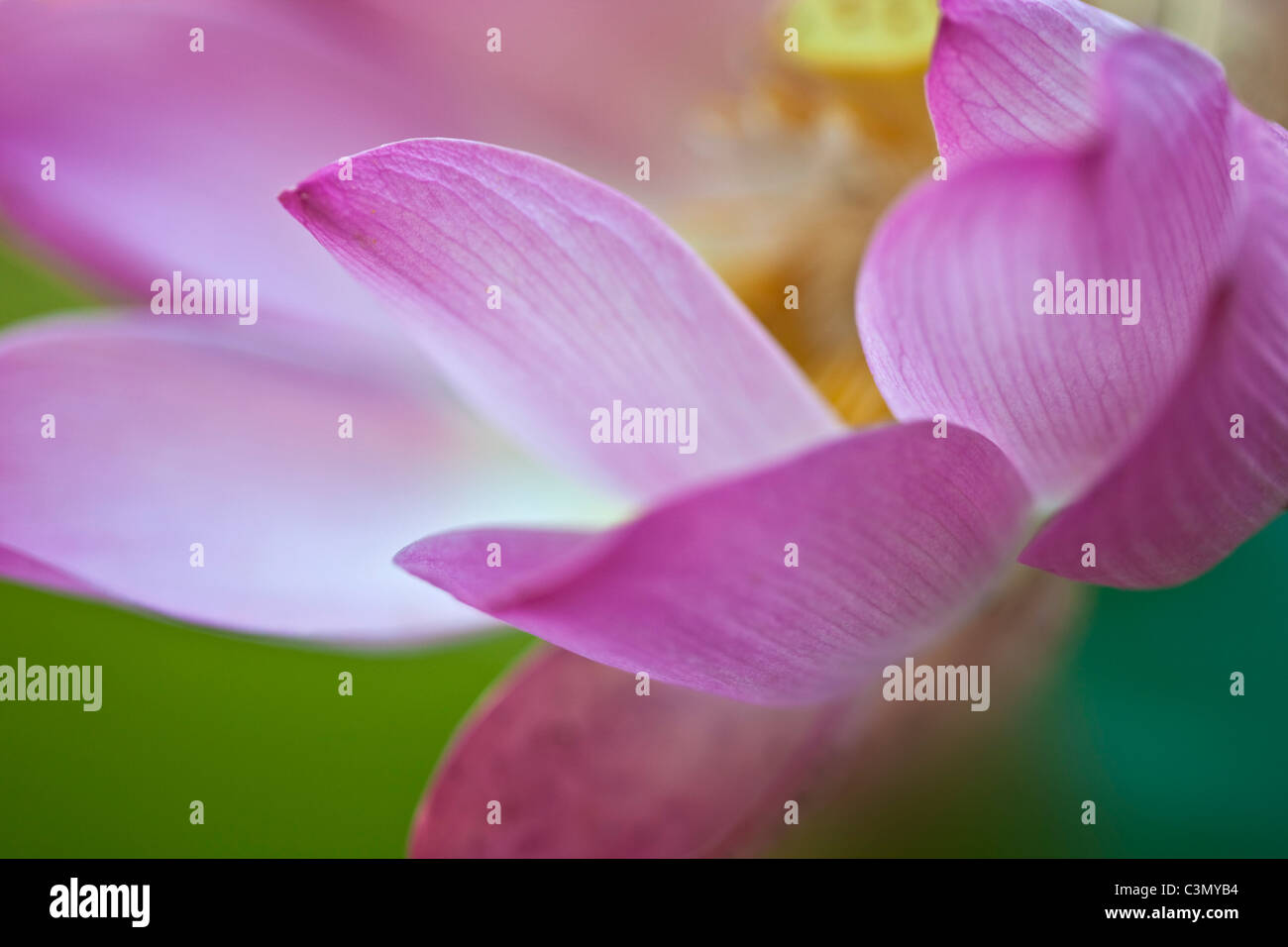 Indonesia, Island Bali, near Tejakula village, Gaia Oasis Resort. Lotus Flower. Stock Photo