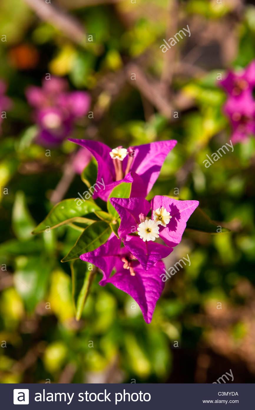 Indonesia, Island Bali, near Tejakula village, Gaia Oasis Resort. Flowers in garden. - Stock Image