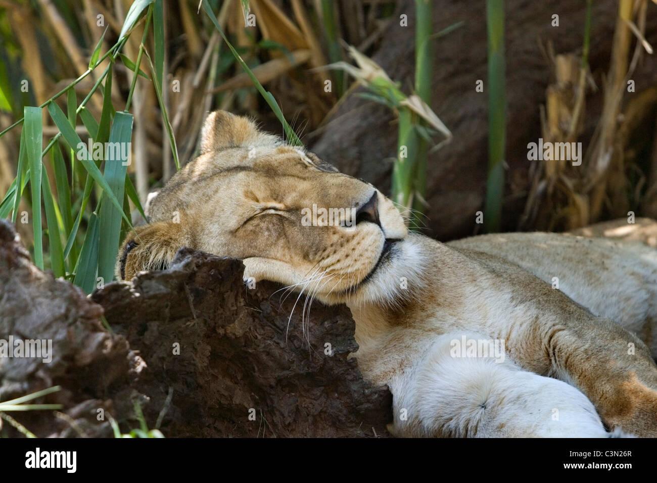 South Africa. Johannesburg.  Lion. Panthera Leo. Captivity. - Stock Image