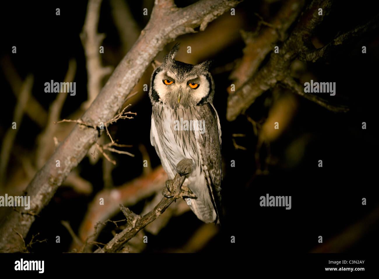 South Africa, Near Zeerust, Madikwe National Park. Southern White-faced Scops-Owl, Ptilopsis granti at night. - Stock Image