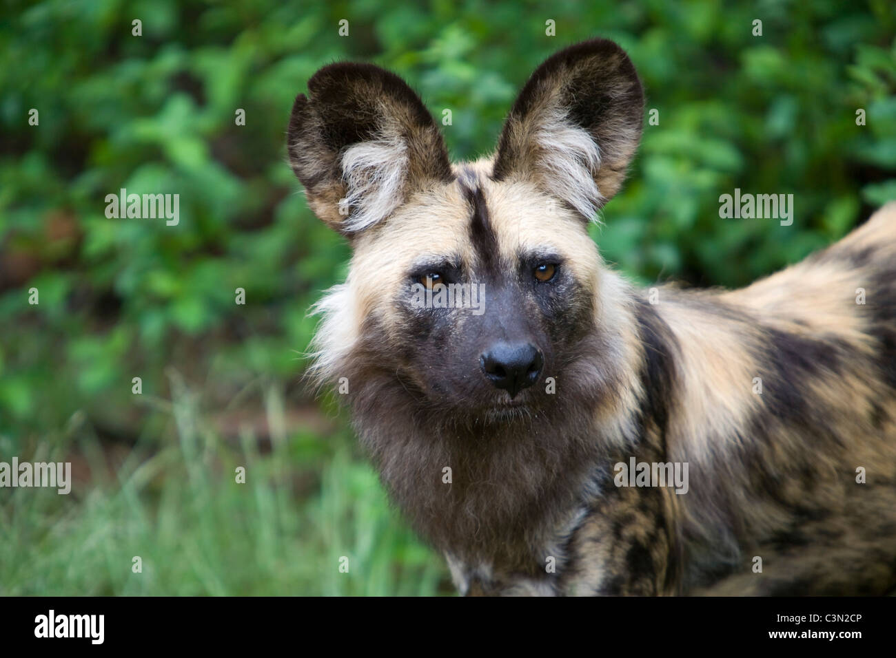 South Africa, Pretoria. One African Wild Dog, also Painted Hunting Dog, Lycaon pictus. Captivity. - Stock Image