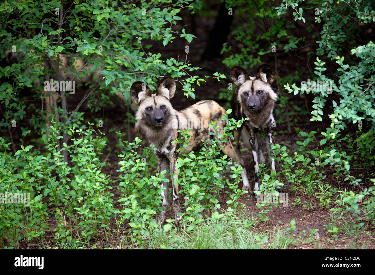 South Africa, Pretoria. Two African Wild Dog, also Painted Hunting Dog, Lycaon pictus. Captivity. - Stock Image