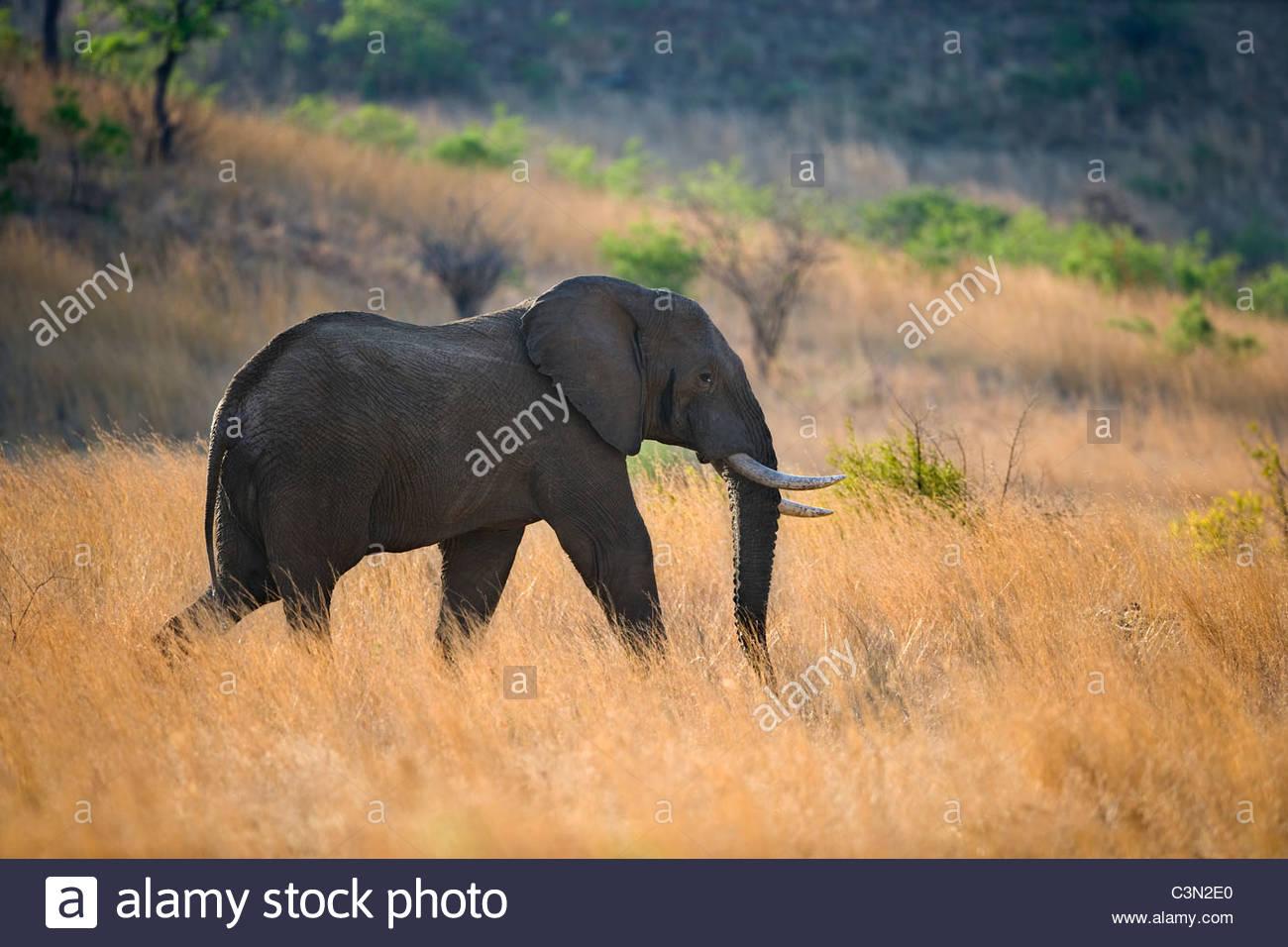 South Africa, near Rustenburg, Pilanesberg National Park. African Elephant, Loxodonta africana. Male in musk. - Stock Image
