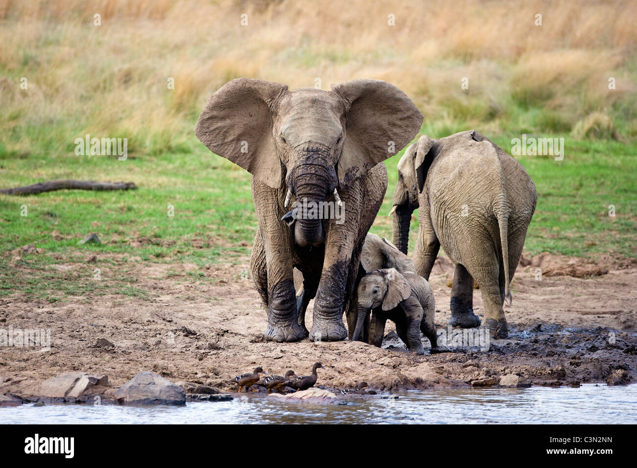 South Africa, near Rustenburg, Pilanesberg National Park. African Elephants, Loxodonta africana. Mothers and young. Stock Photo