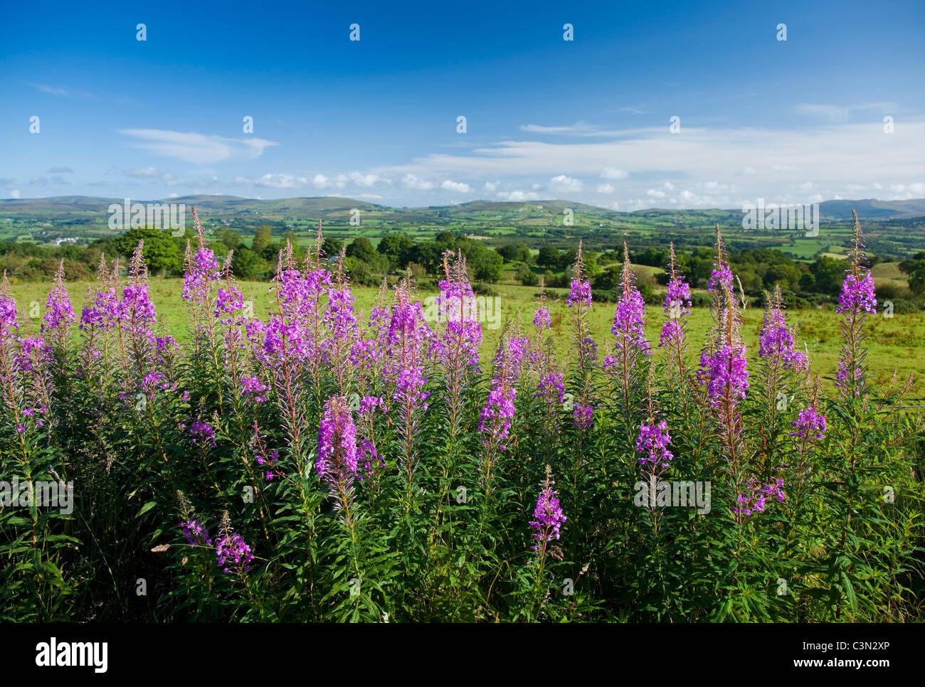 Rosebay Willowherb (Chamerion angustifolium) beneath the Sperrin Mountains, County Tyrone, Northern Ireland. - Stock Image