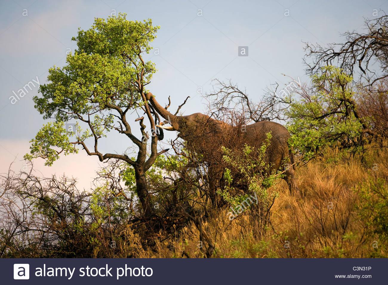 South Africa, near Rustenburg, Pilanesberg National Park. African Elephant, Loxodonta africana, eating. - Stock Image